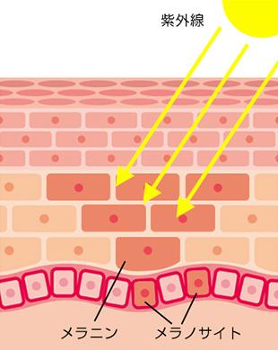 紫外線を浴びるとメラニンが生成